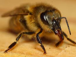 A méhepmpő hatása betegségek ellen