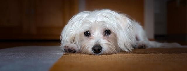 máltai selyemszőrű kutya